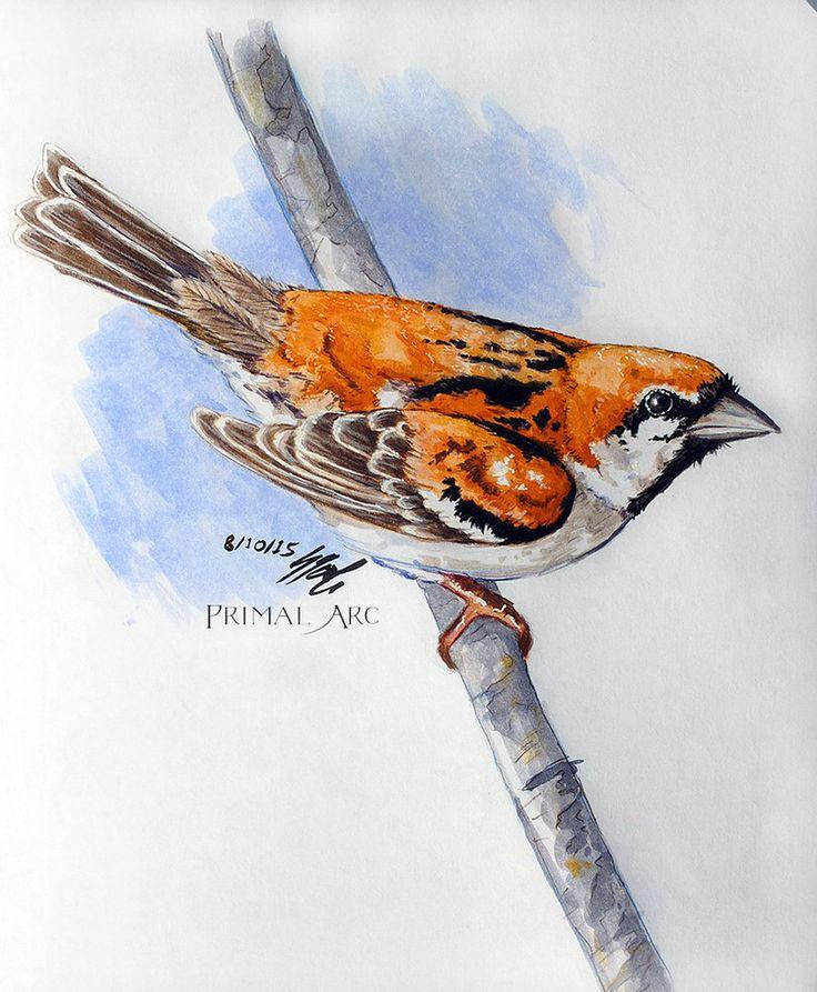 'Russet Sparrow Study', watercolour. www.primalarc.com