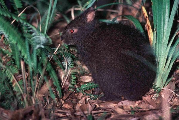 """Anami Rabbit - """"Often called a living fossil, the Amami rabbit is a living remnant of ancient rabbits that once lived on the Asian mainland, where they died out, remaining only on the two Japanese small islands where they survive today"""""""