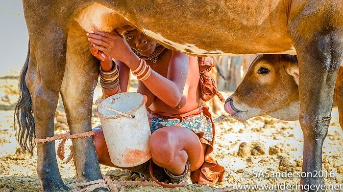 Calf watches mum being milked - at Himba village near Serra Cafema Camp - Namibia.