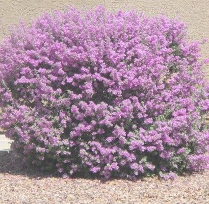 Thunder Cloud Sage - Horticulture Unlimited