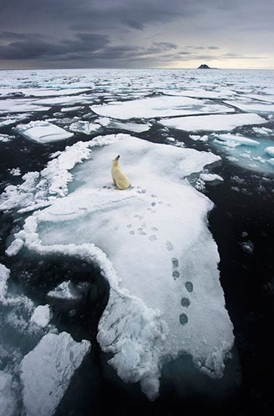 Ole Jørgen Liodden, Norway. 'l have photographed more than 100 polar bears around the islands of Svalbard, northern Norway, but in July 2011 came across a truly unique opportunity. A polar bear came close to our expedition ship, and with the landscape, the ice, the shape of the bear and the footprints everything was just right. But this is also a sad image: due to climate change the Arctic drift ice is getting thinner and less dense in the area, reducing the polar bears' habitat…