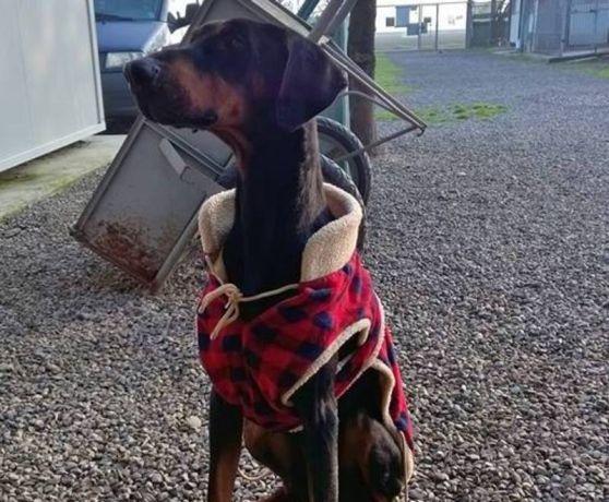 Argo, bellissimo dobermann è finito al canile dopo l'abbandono della famiglia, ma lo stress lo sta facendo dimagrire sempre più, i volontari temono per lui