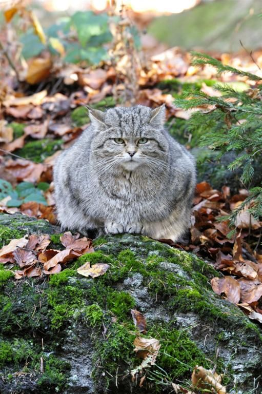 Two wildcats new attraction reserve of the demonstration Białowieża National Park | News | Science & Scholarship in Poland