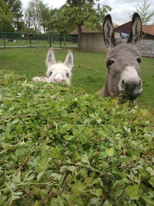 Donkeys Looking Over Hedge