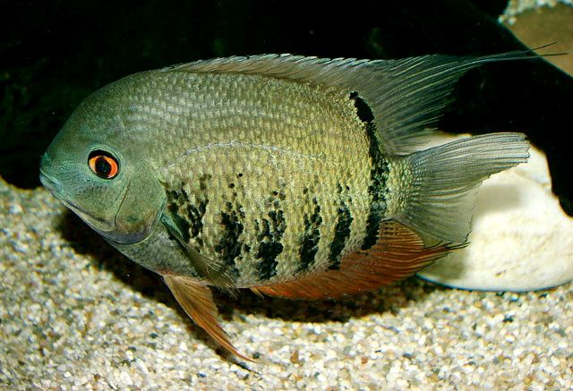 Heros severus banded cichlid or severum may eat small for Small tropical fish
