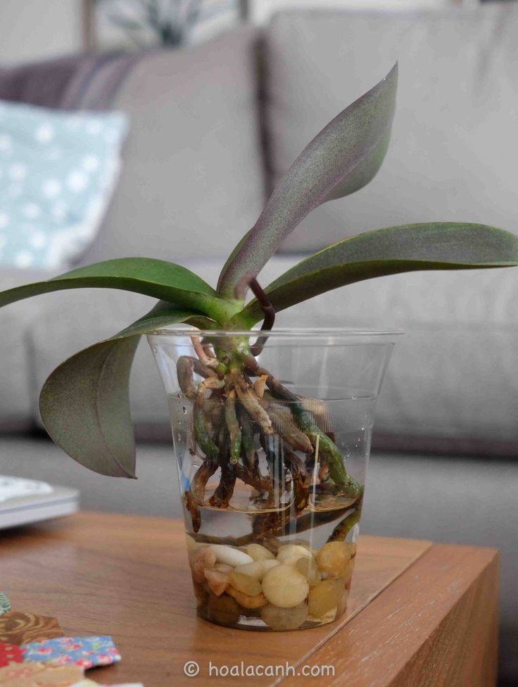 I started growing orchids, particularly phalaenopsis orchids, in water about a year ago afterseeing the awesome root tips that grew in water on Sam Som's youtube channel (Orchids & Puppi…