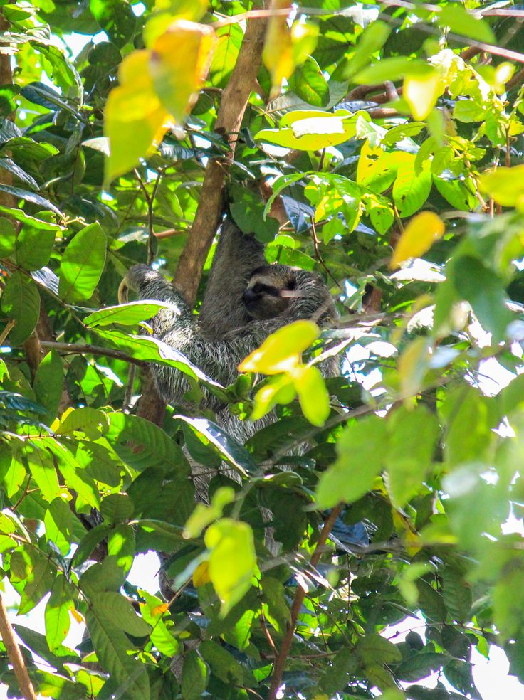3 toed sloth, Manuel Antonio National Park. Find out where to see sloths in Costa Rica here: http://mytanfeet.com/costa-rica-wildlife-and-nature/where-to-see-sloths-in-costa-rica-wildlife-nature/