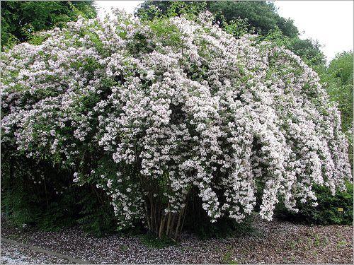 Kolkwitzia amabilis. Beauty Bush | Flickr - Photo Sharing!