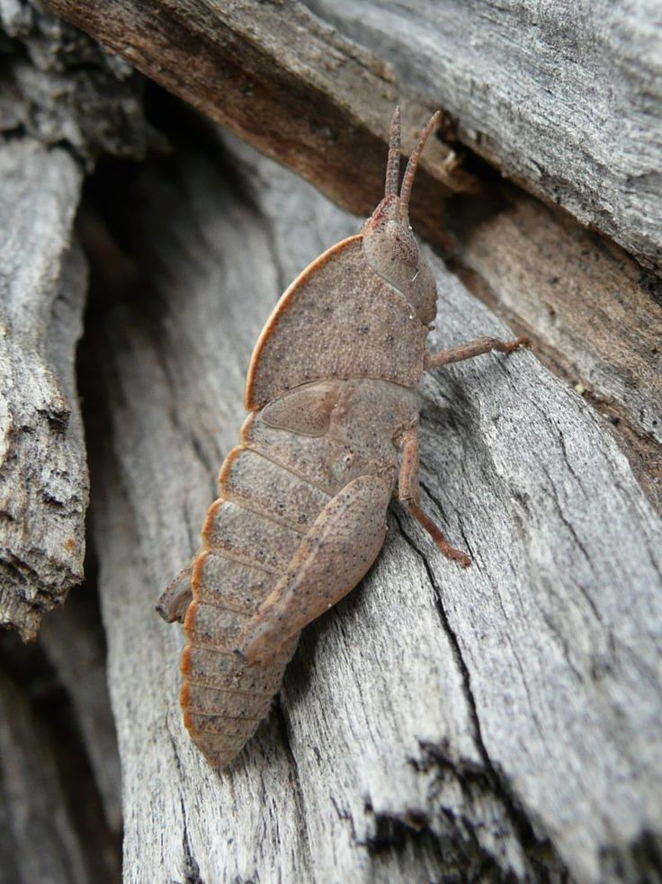 Goniaea australasiae, Gumleaf Grasshopper