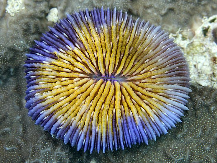 The free-living coral Fungia sp. is one of the few hard corals that do not attach themselves to the substrate.