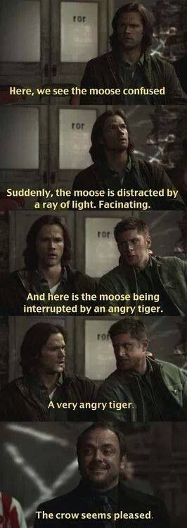 Here, we see the moose confused. Suddenly the moose is distracted by a ray of light. Facinating. And here is the moose being interrupted by an angry tiger. A very angry tiger. The crow seems pleased