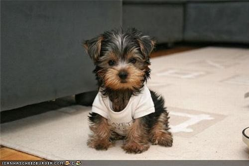 I. Love. Yorkies.: Little Puppies, Yorkie, Small Dogs, Cutest Dogs, So Cute, Pet, T Shirts, Yorkshire Terriers, Little Dogs
