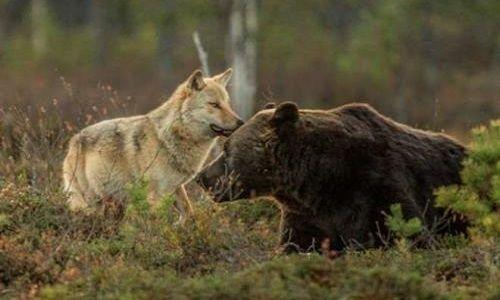 Animaux - Signez la pétition : Contre l'abattage des ours et des loups en Alaska
