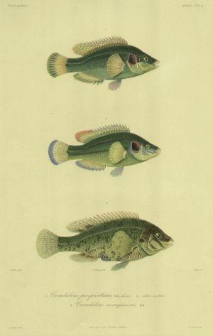Pisces Crenilabrus Perspicillatus Schuler 1842 Engraving CopperplateStipple