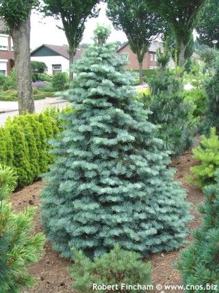 Top 25 ideas about Evergreens on Pinterest   A tree, Cedrus ...