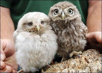 Theres a sweet curiosity to baby owls. I love them
