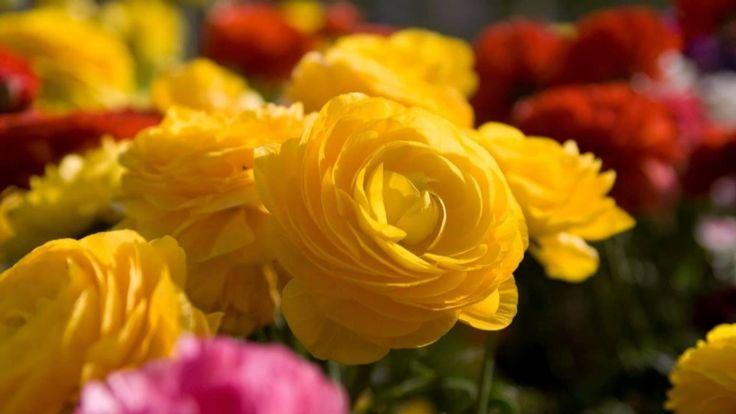 Kaláka együttes - Weöres Sándor: Rózsa, rózsa, rengeteg