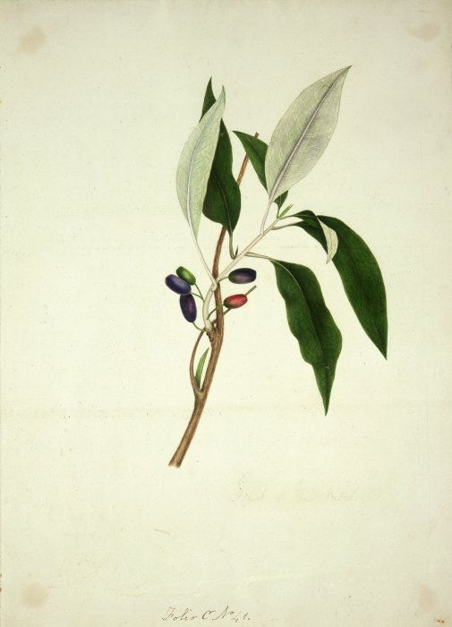 King, Martha, 1803?-1897 :Fruit of the fuchsia. Folio C No. 41 [1842]    Reference Number: A-005-041    A branch of New Zealand fuchsia (fuchsia excorticata) in leaf and drupe. Prepared for the New Zealand Company in 1842.