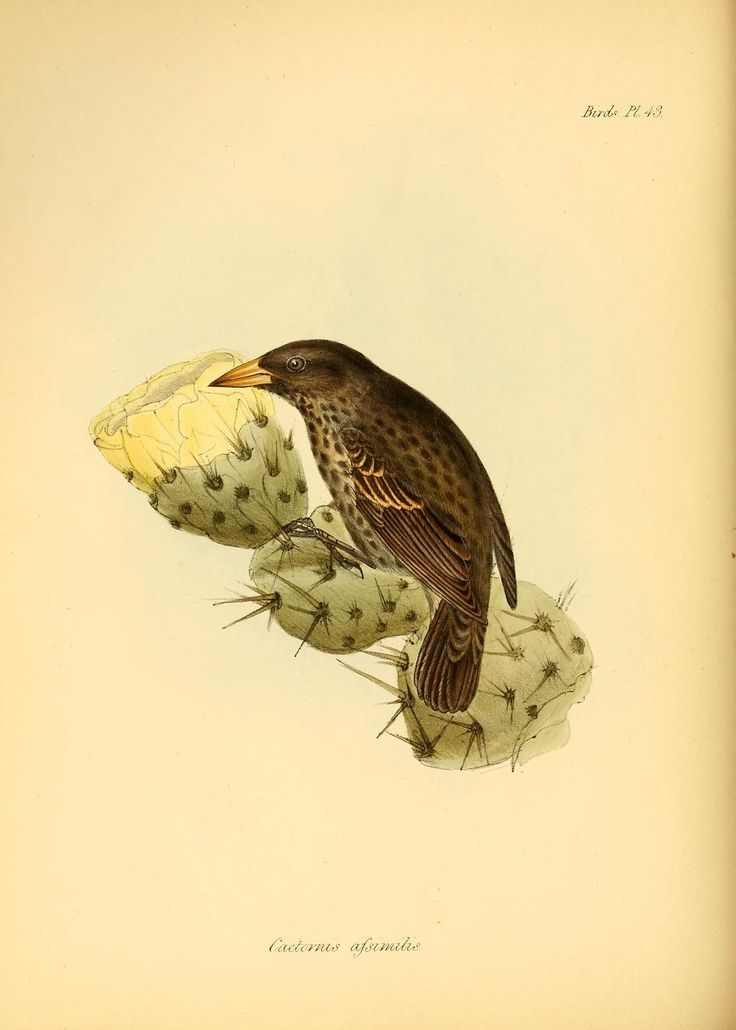 """Cactus Finch from """"The Zoology of the Voyage of the H.M.S. Beagle"""", drawing by Charles Darwin"""