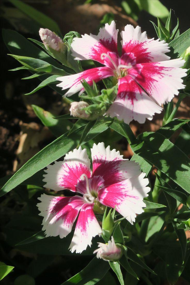 #flowers #summer #pink #beautiful