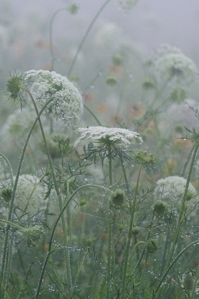 Queen Anne's Lace. A favorite wildflower.