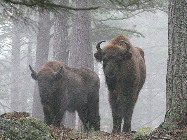 Rare Wisents in the last of Europe's primeval forests, the 8,000-year-old Bialowieza Forest