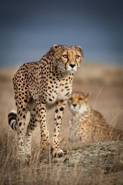Mental Alchemy - beautiful-wildlife: Cheetah by Dirk Müller