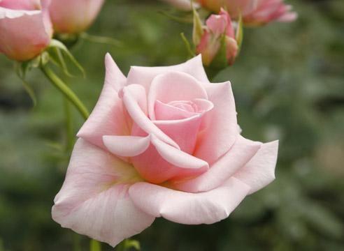 !!!Роза