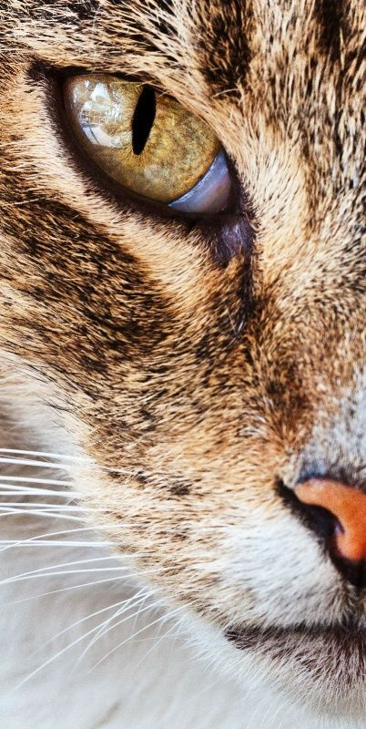 The eye of the tiger http://catpictures24.com/cats-eye/ #AngryCat, #AngryCats, #CatsEye, #CatsEyes, #OneCatsEye