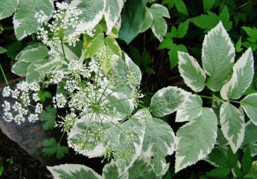 Aegopodium podagraria 'Variegata'