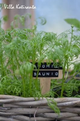 Yrttien kasvattamista kasvihuoneessa. Kyltti, jossa kasvin nimi Dymo -laitteella kirjoitettu. / Growing herbs in the greenhouse. Sign with plant's name created with Dymo -writer.