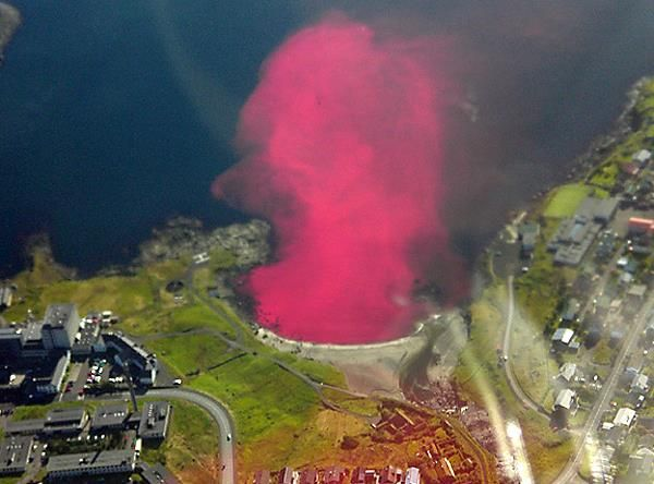 Whale blood stains the water surrounding the Faroe Islands during the annual whale slaughter. Sad.