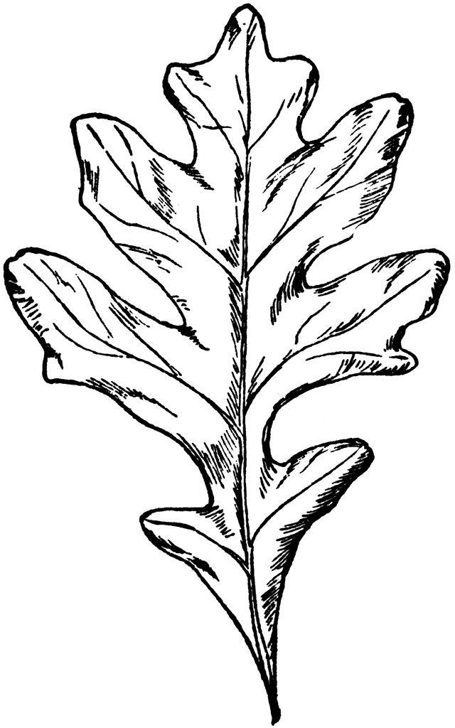 Types of Oak Leaves | White Oak Leaf | ClipArt ETC