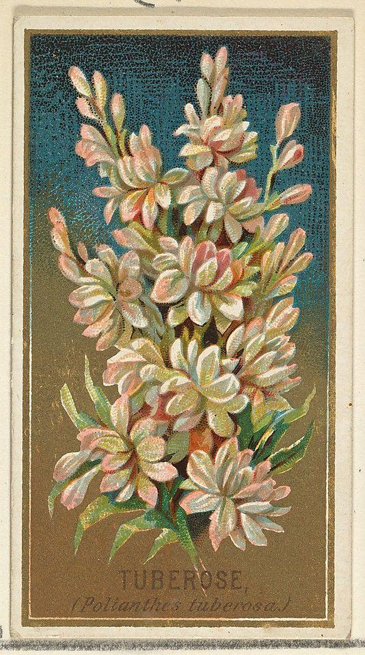92 best tuberose images on Pinterest | Eau de toilette, Gardenias ...