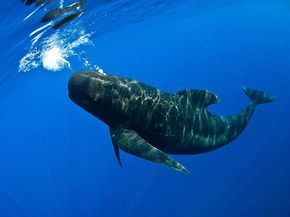 Photographer has close encounter with pilot whales in the Strait of Gibraltar.