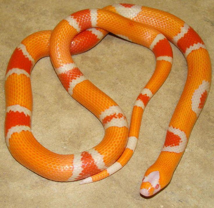 Reverse Albino Honduran Milksnake | Reptiles | Pinterest