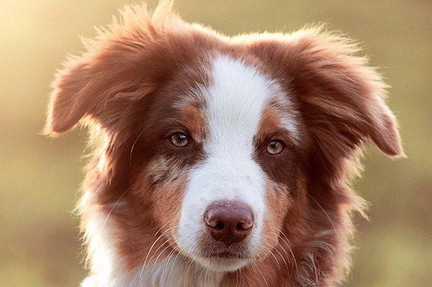 19 razones por las que los Pastores ovejeros australianos son los perros más bonitos del mundo