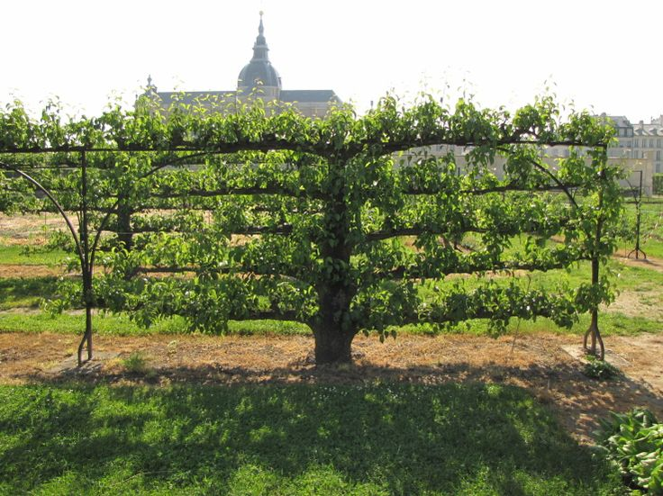 The Potager du Roi is the kings garden established at the Versailles Palace. It's now a horticultural school specialising in keeping the tradition of espalier allive.