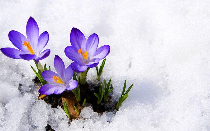 Krokusy, Śnieg, Wiosna