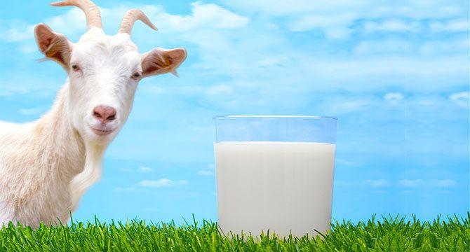 Козье молоко: польза или вред