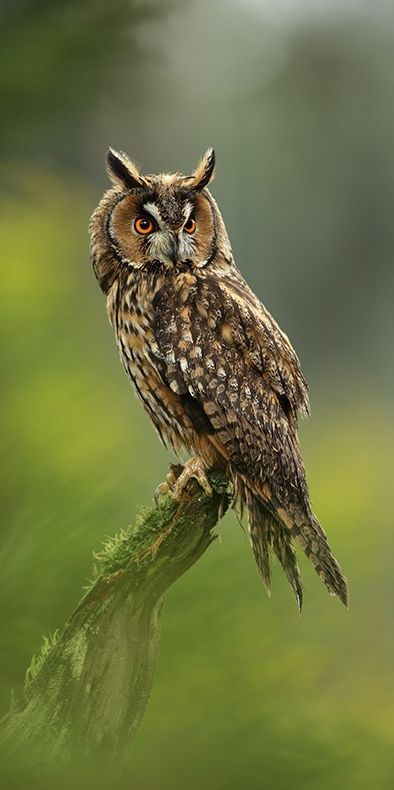 The Long Eared Owl is such as striking species which would look lovely on a plain blue background :)