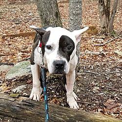 Pine Bush, New York - Terrier (Unknown Type, Medium). Meet Marco, a for adoption. https://www.adoptapet.com/pet/20049987-pine-bush-new-york-terrier-unknown-type-medium-mix