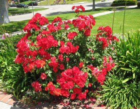 Fantastic article for pruning knockout Rose Bushes!!