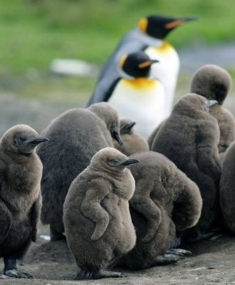 The little penguins are so fat but there so cute you just want to hug them :)