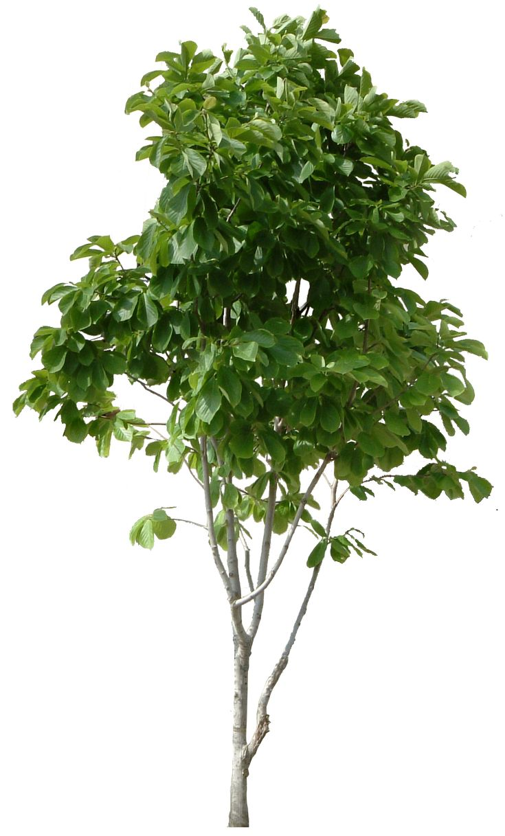 Hd Tree Png Cool <b>tree</b> images free download picturespider.com