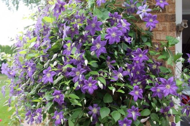 1000 images about garden clematis container on. Black Bedroom Furniture Sets. Home Design Ideas