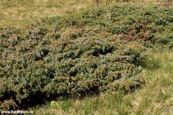 #Wacholder #Juniperus communis http://www.florilegium.de/blog/pflanzen/straeucher-und-baeume/wacholder-juniperus-communis.html