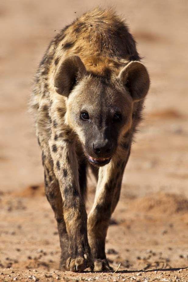 La hyène tachetée, crocuta crocuta - Spécialité : un estomac d'acier La hyène tachetée est un redoutable chasseur. Mais c'est aussi un charognard qui n'hésite pas à se nourrir de carcasses d'animaux parfois dans des états de décomposition avancée. Et contrairement à d'autres carnivores de la savane africaine, crocuta crocuta ne semble jamais succomber à une infection, comme la rage ou l'anthrax. Comme pour le vautour, l'estomac de la hyène tachetée produit en effet des sucs gastriques…