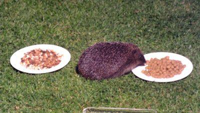 Hedgehog Watch Dublin: Hedgehog Watch Dublin 9 June 2015