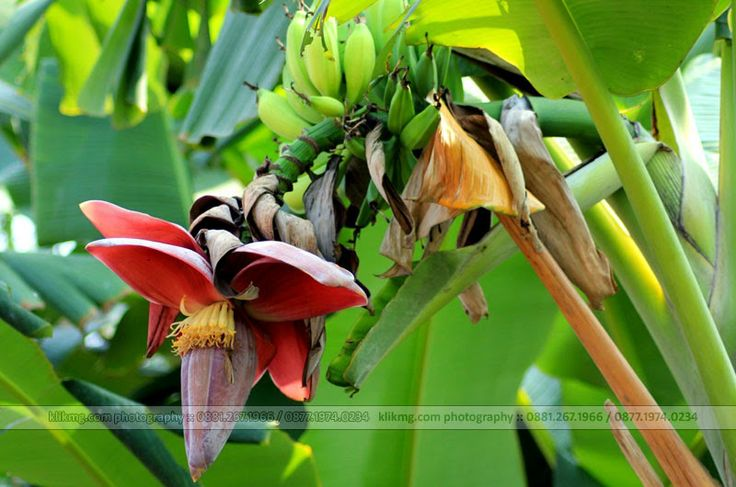 Jantung Buah Pohon Pisang   fotografer : klikmg fotografi - fotografer indonesia / fotografer banyumas / fotografer purwokerto
